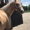 MP Bailey, 2011 1/2 Arab mare, x Nellie, QH type mare