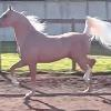 MP Mister, 2007 1/2 Arab stallion, x Lacey, QH type mare